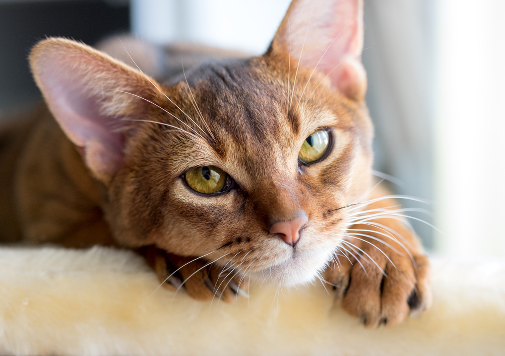 Purebred abyssinian cat