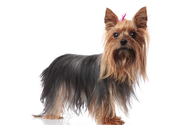 full body picture of a cute yorkshire terrier puppy dog standing on white background