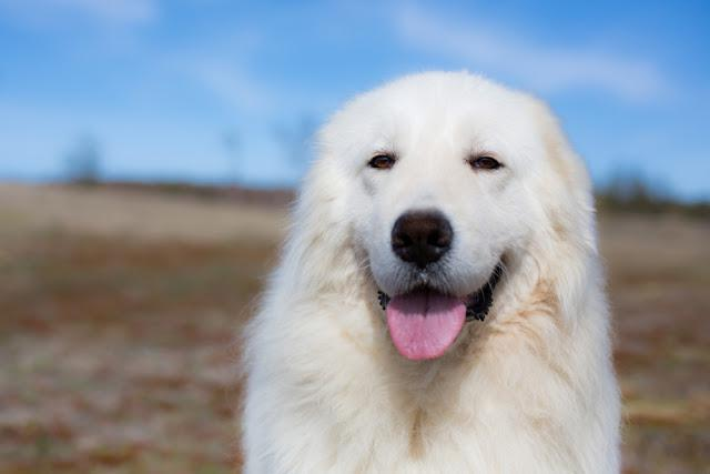 Portrait of gorgeous maremma sheepdog. Big white fluffy dog posing in the field in a sunny day