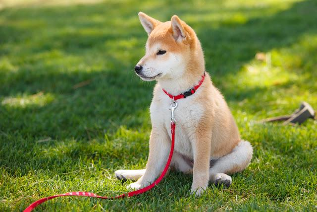 shiba inu puppy sitting on a green grass