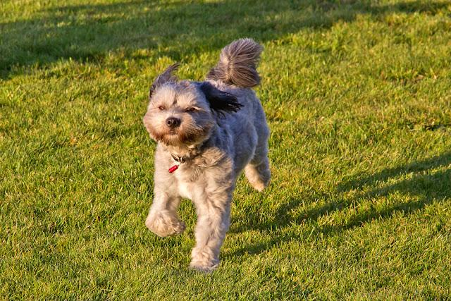 Rosco, a Lhasa Apso and Shi Tzu crossbreed, has a chase around the garden.