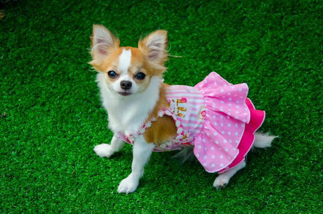 My pretty Chihuahua smooth coat dog wear the pink cloth on the green grass and she looking the owner.