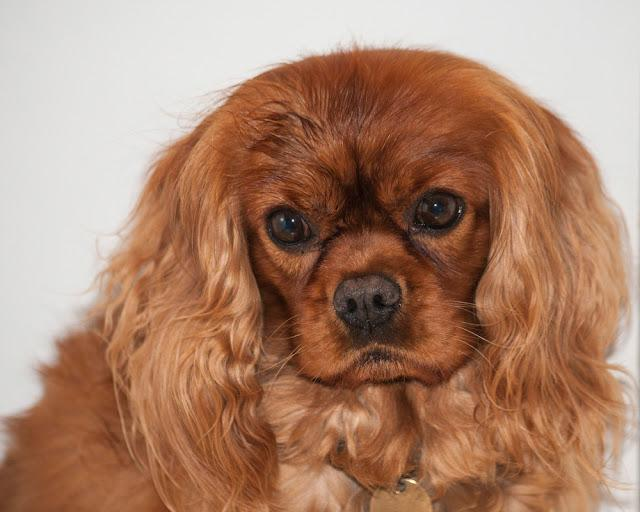 Cavalier King Charles Spaniel, also known as English Toy Spaniel, Ruby colour, with big eyes, facing camera