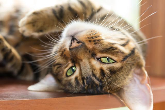 Beautiful cat breed Toyger lazily lying on a wooden shelf. Shallow depth of field.