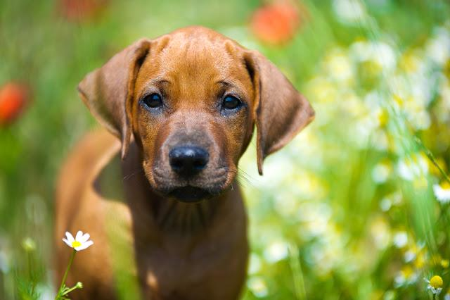 Cute rhodesian ridgeback puppy in a field