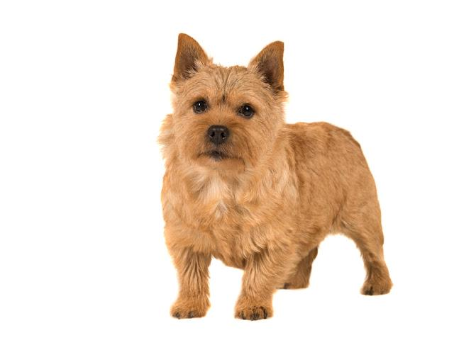 Cute norwich terrier dog standing isolated on white background