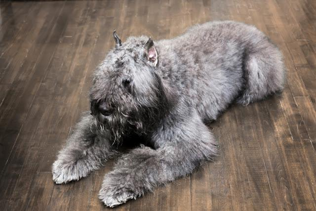 Large pepper and salt Bouvier des Flandres dog with ears cropped resting on dark hardwood floor