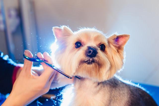 Female groomer haircut yorkshire terrier on the table for grooming in the beauty salon for dogs. process of final shearing of a dogs hair with scissors