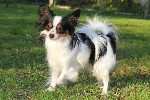 very nice small papillon puppy in the grass