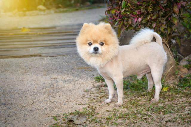 Cut the hair of Pomeranian dog to like a lion