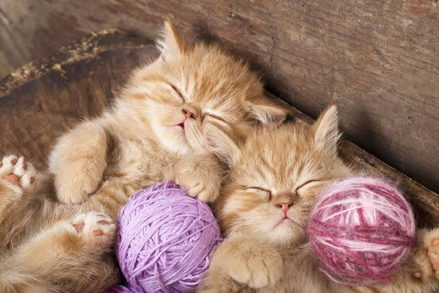 Exotic kittens   sleeping with a ball of wool
