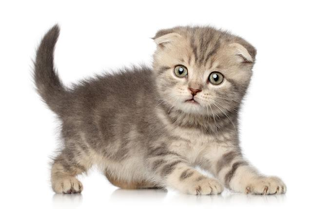 Scottish Fold kitten play on white background