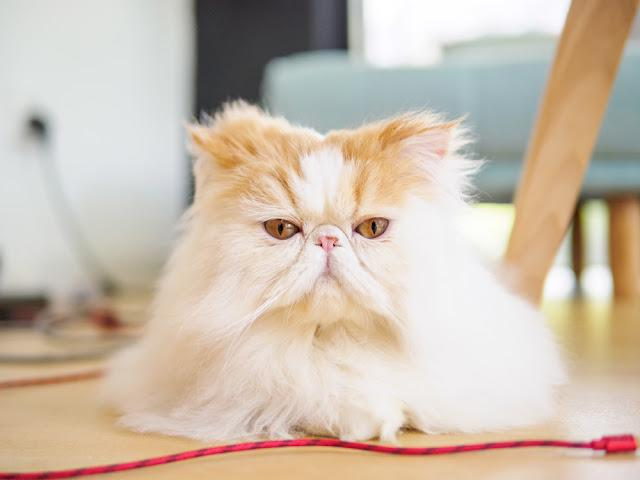 Portrait of exotic long hair yellow cat on the wood floor. looking at camera with round eyes.