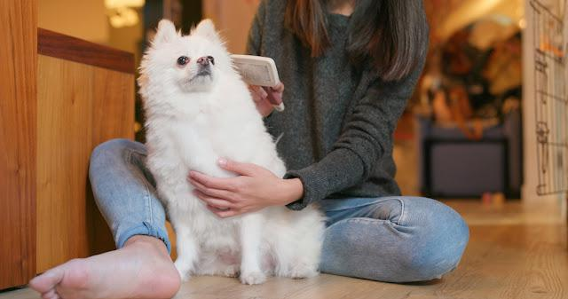 Woman brush her pomeranian dog at home