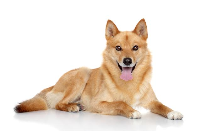 Finnish spitz dog (Karelian Finnish laika) on a white background