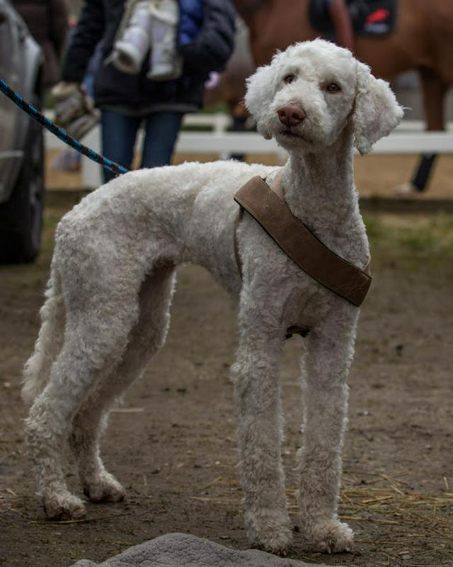 portrait of a very cute and fluffy Bedlington terrier