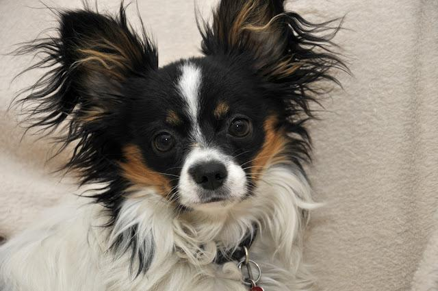 portrait of a papillon