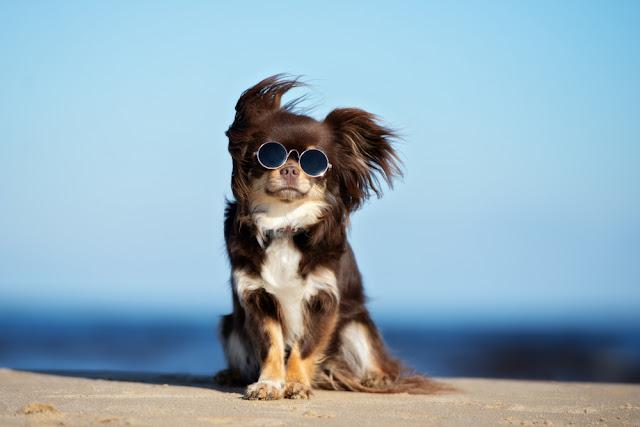 funny chihuahua dog posing on a beach in sunglasses
