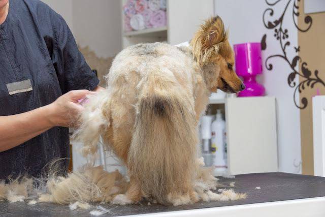 Shetland Sheepdog dressed by a  professional dog groomer
