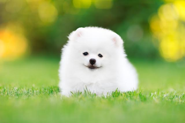 Young White Pomeranian puppy Spitz sitting in the grass look at the camera