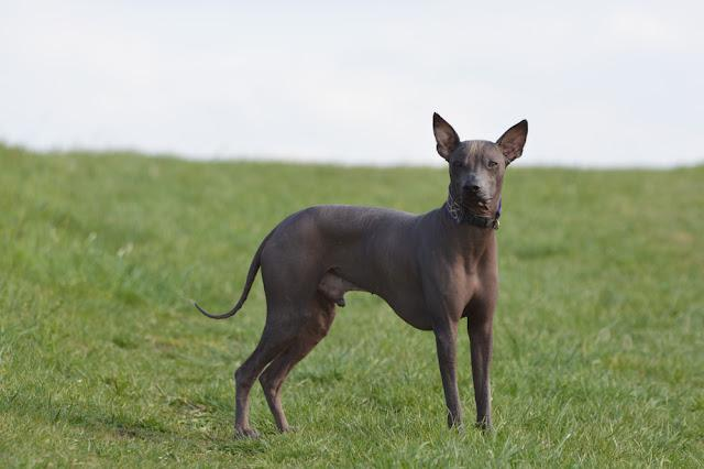 Peruvian hairless dog on the meadow