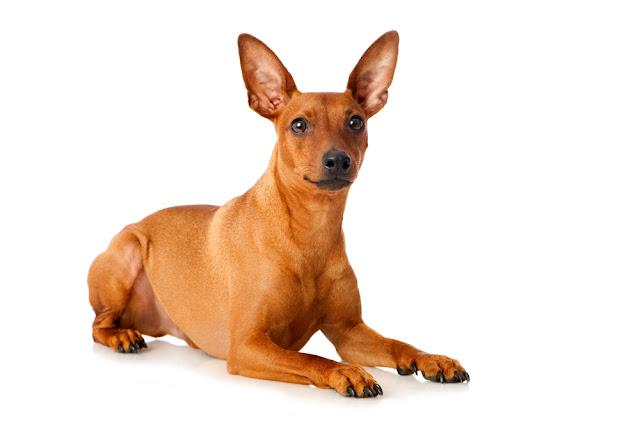 Pinscher dog isolated on white background
