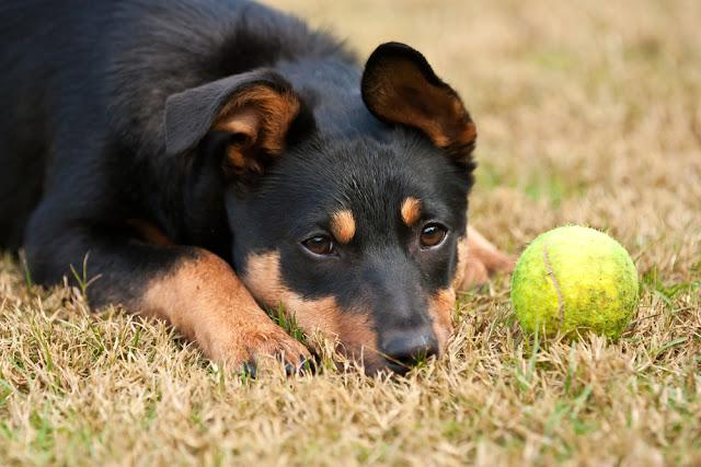 Kelpie puppy (a breed of Australian sheep dog) lying on the grass with a tennis ball.