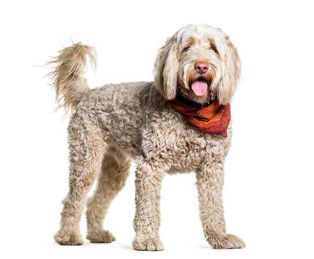 Portuguese Water Dog standing and panting, isolated