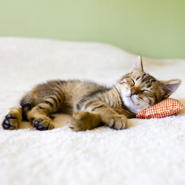 Small Kitty With Red Pillow