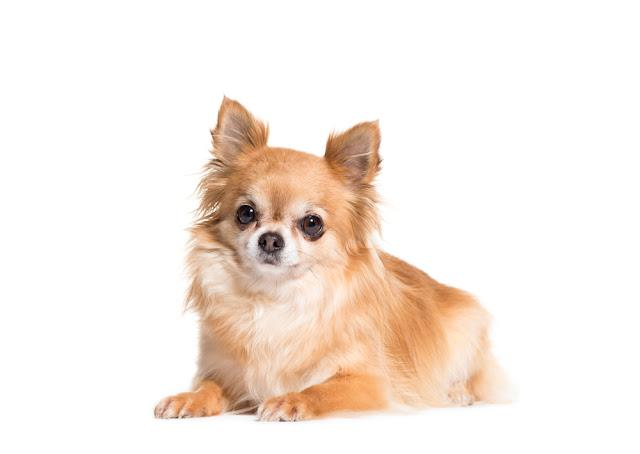 Lying down brown Chihuahua dog, Cut-out