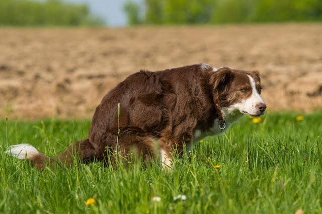 Dog poops in a meadow