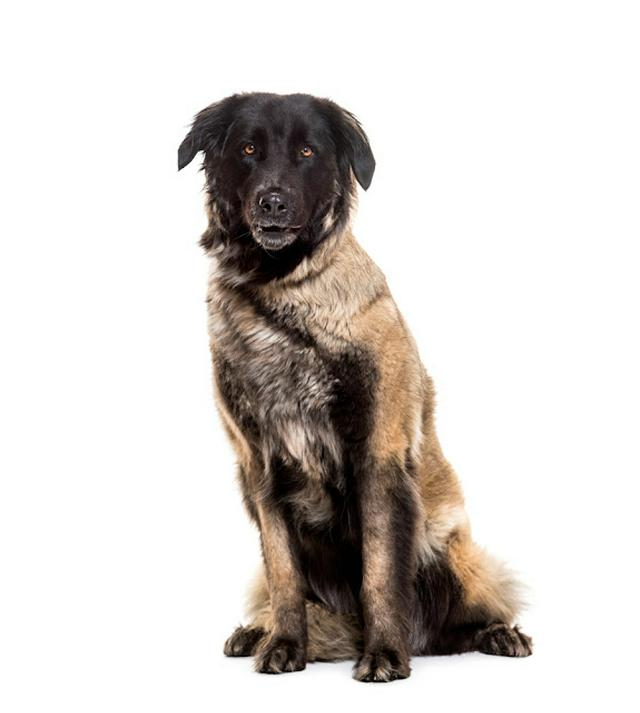 Estrela Mountain Dog, 5 years old, sitting against white background