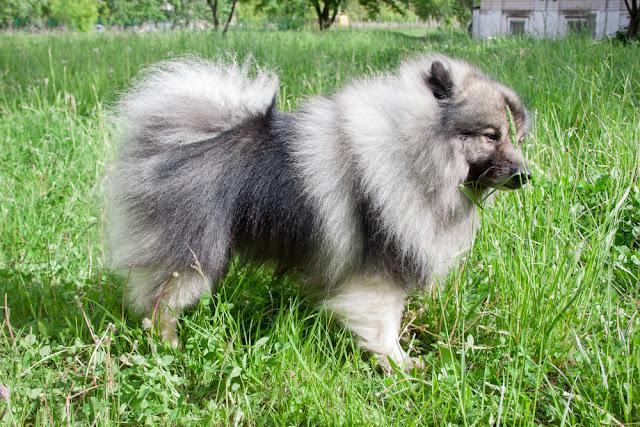 Deutscher wolfspitz is standing on a green meadow. Keeshond or german spitz.