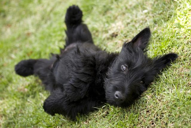 Playful scottish terrier puppy lying on its back