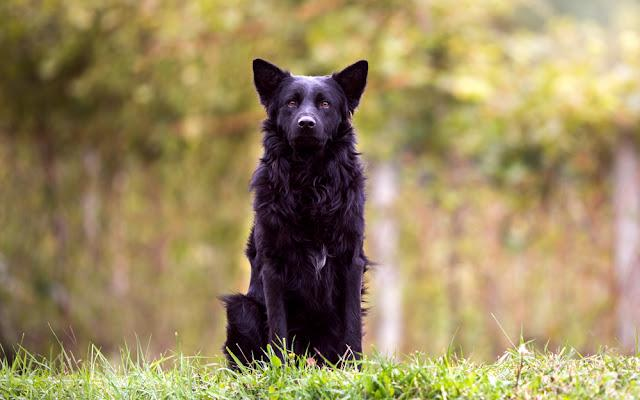Proud black dog sitting in the nature, guarding and observing with his ears up.