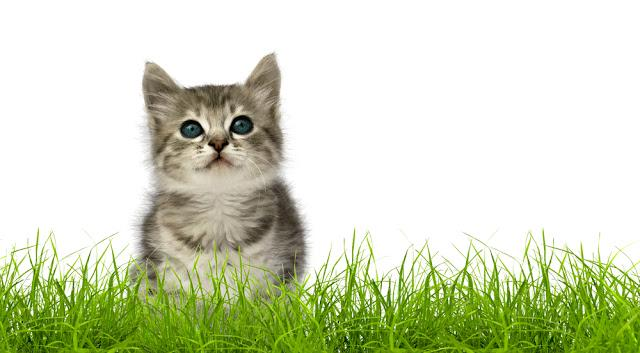 Small gray kitten in green grass isolated on white background
