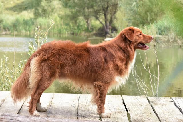 Nova Scotia Duck Tolling Retriever stay on a wooden bridge and looks to the right.