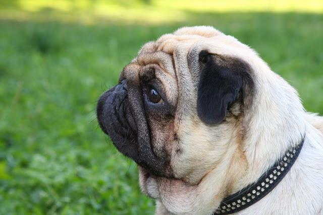 Portrait of a beautiful purebred beige pug