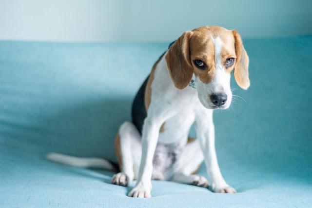 A beagle dog sitting on the sofa with unhappy face