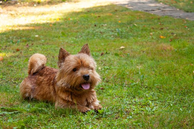A small dog (Norwich Terrier) lies on the green grass with space for text