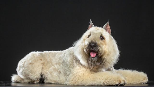 Bouvier des Flandres Dog Isolated  on Black Background in studio
