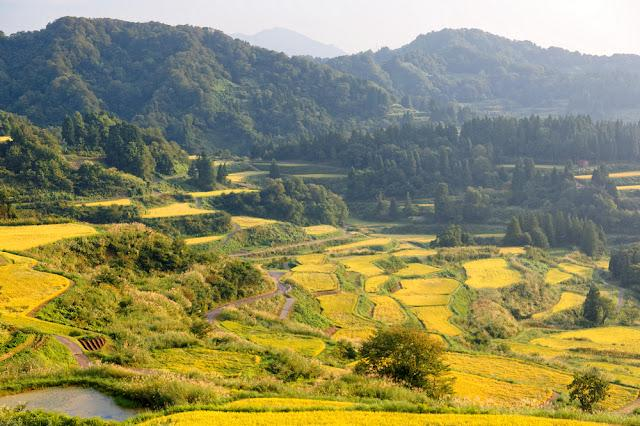 Idyllic scenery of terrace paddy fields on the hillside with golden rice crops bathed in bright sunlight before harvesting in autumn, in Hoshi Mountain Pass in Tokamachi, Niigata, Japan
