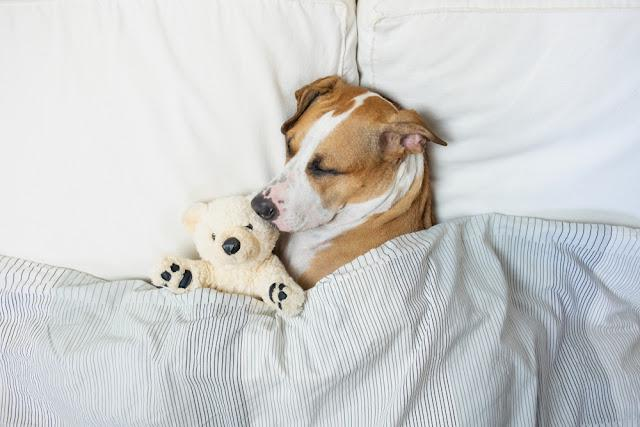 Cute dog sleeping in bed with a fluffy toy bear, top view. Staffordshire terrier puppy resting in clean white bedroom at home