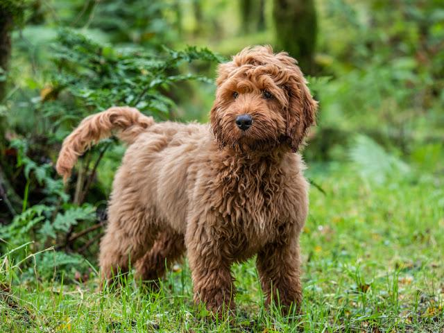 A young red Cockapoo puppy enjoying being amongst the trees in a local forest