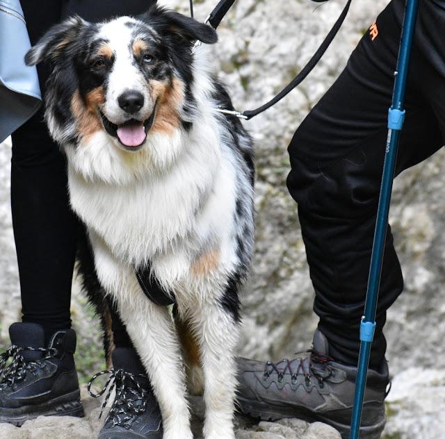 Tri-colored Australian shepherd on leash leaning against a womans leg during an outing (sign of affection or search for reassurance)