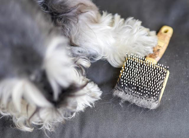 Hair of dog on brush next to a black miniature schnauzer, Dog losing hair