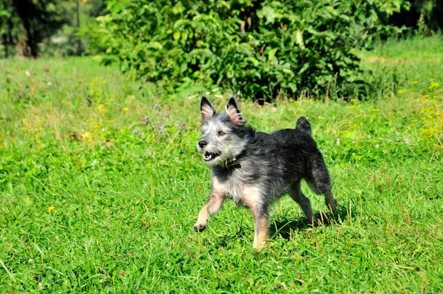 The dog runs and barks. Mongrel dog, mongrel dog similar to the breed Cairn Terrier or a Australian terrier.