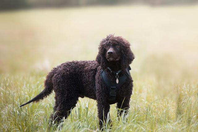 Water Spaniel in an open field.