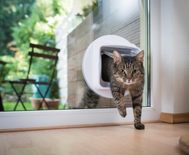 tabby european shorthair cat entering the room through cat flap
