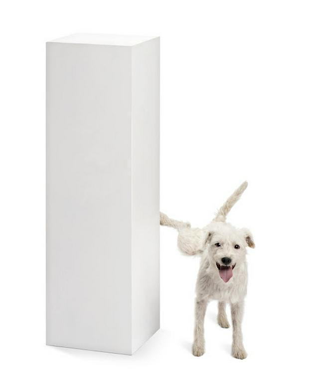 Parson Russell terrier urinating on a pedestal against white background